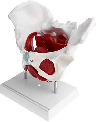 Anatomia da pelve feminina Esqueleto do crânio Modelo anatômico em tamanho real 1: 1