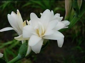 20seeds/sac tubéreuse Graines d'expédition plantes Fleur saisons d'intérieur Balcony. bonsaï Home montre Soil Planté Bio