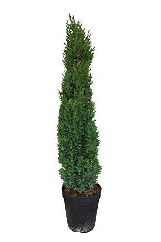 Cupresses sempervirens Totem, Italienische Zypresse, winterhart, 160cm