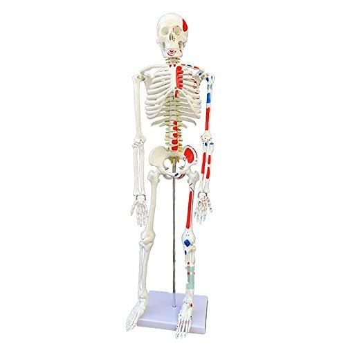 Modelos Y Materiales Educativos Médicos Suministros Y Consumibles Examen Médicos Scientific Modelo Anatómico Humano Esqueleto Clásico 33.5 Pulgadas ✅