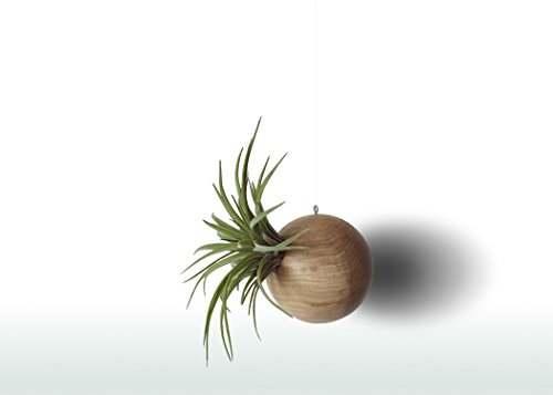 Tillandsia Pflanze Mit Holz Blumentopf 10 cm - Zimmerpflanze Set - Luftpflanzen Boho Deko Büro Und Wohnung
