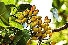 Aamish 5 piezas de semillas de árboles de pistachos