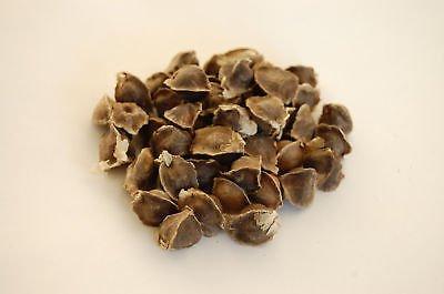 Moringa Oleifera Samen - keimfähig 10 50 100 Stück (100)