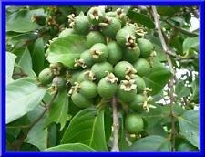 Goyave Fruit Graines goyave goyavier arbres fruitiers 12 graines de fruits délicieux