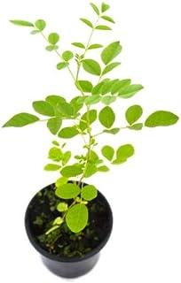 Regaliz Natural 10cm Planta Raíz Regaliz Glyzyrrhyza Glabra