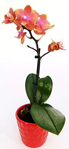 ORCHIDEA PHALAENOPSIS BONSAI ARANCIO in vaso in ceramica decorato a Cuori, Pianta Vera