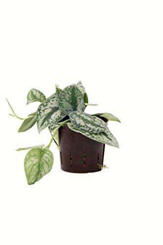Efeutute, Scindapsus pictus, Zimmerpflanze in Hydrokultur, 13/12er Kulturtopf, 18-25 cm