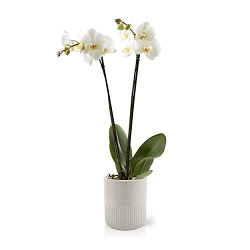 Color Orchids Live Double Stem Phalaenopsis Ceramic Pot, 20'-24' Tall, White Blooms Orchid Plant
