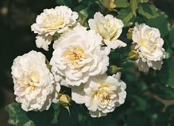 'Petticoat' -R-, Beetrose, ADR-Rose im 4 L Container
