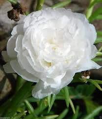 Nouvelles Graines fraîches 200 Pcs / lot Blanc Portulaca Seed Flower Garden pot Bonsai Plantes Fleur Pourpier Graines Scutellaria Barbata, # K