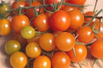 20 graines de Golden Gem hybride - tomates orange