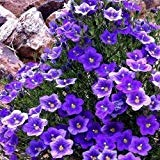 Cup-Blume lila Robe Bodendecker Samen (Nierembergia Hippomanica) 200 + Seeds (200+)