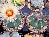PLAT FIRM Atrophytum Ateria niveun Cacti Rare CACTU 10 Seed -