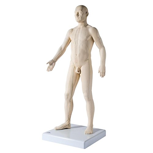 3B Scientific N30 Acupuncture Male Model, 31.5
