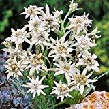 Edelweiss Blumensamen (Leontopodium Alpinum) 100 + Seeds (200+)