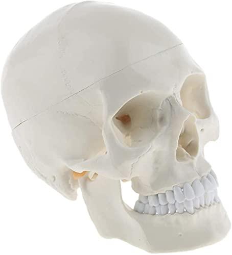 JeeKoudy 1: 1 Cabeza Humana de tamaño Natural Modelo de Esqueleto de cráneo Herramienta de enseñanza de biología Escolar Suministros de Laboratorio