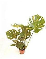VERDECORA - Planta Natural - Costilla de Adán o Monstera Deliciosa - Maceta 13cm | Altura 40 - 65cm