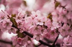 5 graines/Pack, Balcon plantes à fleurs en pot Graines de Cerisiers, japonais Sakura Bonsai Graines