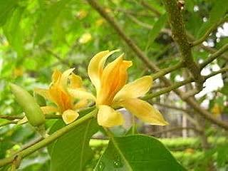 Magnolia Champaca Live Plant (Yellow Flowers)