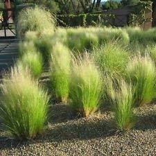 vegherb Mexikanische Federgras Samen (Stipa tenuissima) 50 + Seeds (100+)