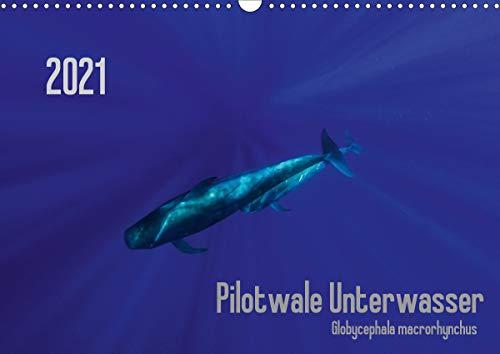 Pilotwale Unterwasser - Globicephala macrorhynchus (Wandkalender 2021 DIN A3 quer)
