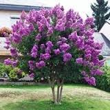 CrapeMyrtleGuy Semi Dwarf Purple Zuni Trees  Pack of 4