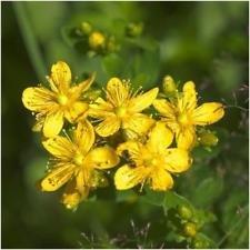 Pacchetto di 500 semi, erba di San Giovanni Erba Seeds (Hypericum perforatum)