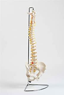 Flexible Chiropractic Spine Model, Life Size, Floor Stand Included
