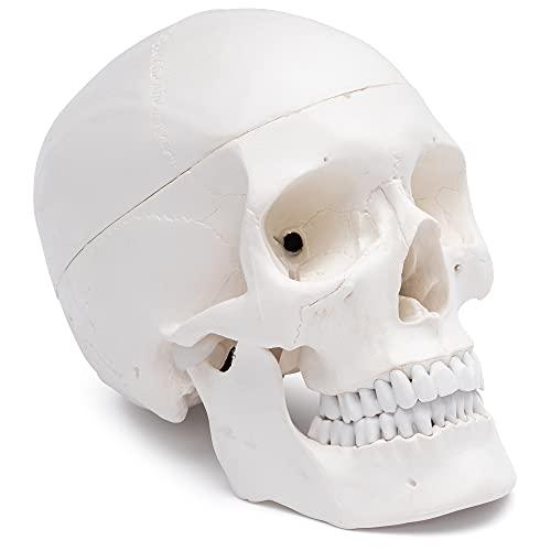 Cranstein Scientific A-210 - Juego de 3 cráneo para aprender a anatomía