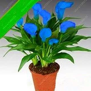 zantedeschia aethiopica flower