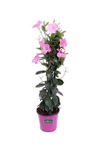 Pianta di Dipladenia pianta rampicante di Dipladenia pianta da esterno pianta ornamentale pianta...
