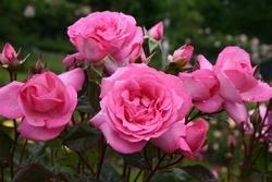 'Eliza' -R-, Edelrose, ADR-Rose im 4 L Container