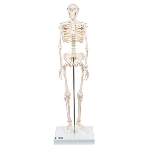 3B Scientific Menschliche Anatomie - Mini-Skelettmodell auf Sockel + kostenloser Anatomiesoftware - 3B Smart Anatomy