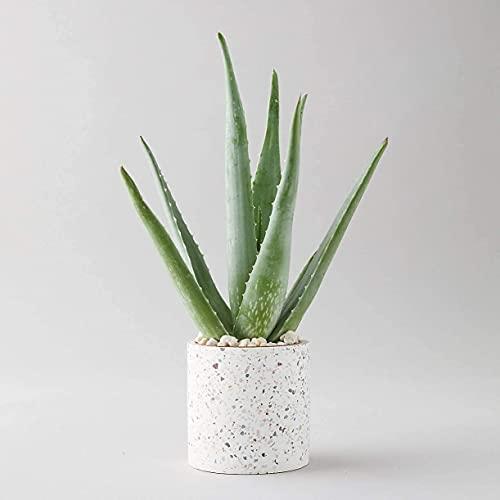 Planta de Aloe Vera – Planta grande alrededor de 30 – 40 cm Inc Pot para el hogar u oficina
