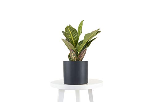 Leaf & Linen   Modern Collection   Croton Petra in 6' Ceramic Pot, Live...