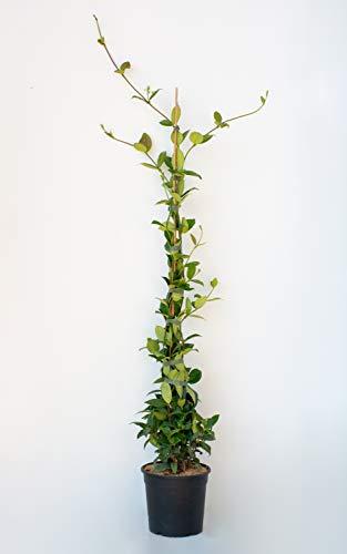 PLANTI' Piante vere da esterno | GELSOMINO Rincospermun | Piante da giardino Gelsomino rampicante, piante da esterno vere e piante rampicanti da esterno diametro vaso 17 cm altezza 130 cm