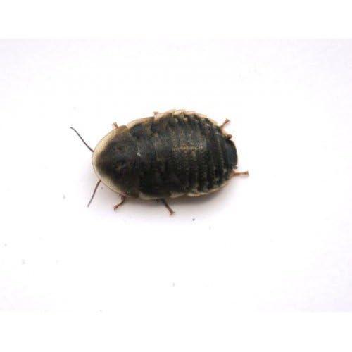 1cm to 2cm 20 Medium Roaches Medium Dubia Roaches