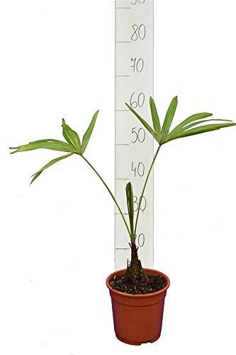 Trachycarpus latisectus - Windamere Palme - Gesamthöhe 60-80cm - Stamm 5-15 cm - Ø 17 cm