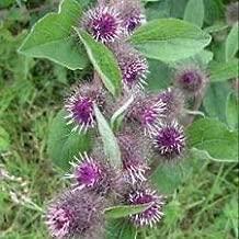 Burdock- (Arctium Lappa) - 25 Seeds- BOGO 50% Off Sale
