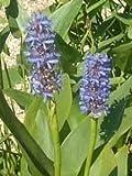 5 Pflanzen Hechtkraut Pontederia Cordata Teichpflanze Wasserpflanze bis 30cm Wasserstand, Dauerblüher aus Naturteich