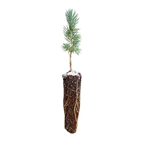 Engelmann Spruce | Small Tree Seedling | The Jonsteen Company