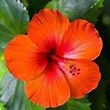 SAGEAWAY Las Semillas de Color Rojo Anaranjado Flor del Hibisco