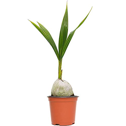 American Plant Exchange Coconut Palm Tree Exotic Indoor/Outdoor Tropical Specimen Live Plant, 6'...