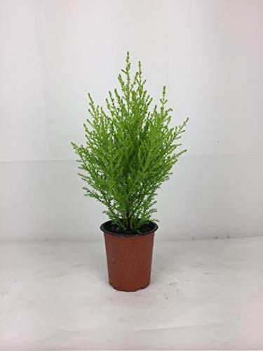 2 x Cupressus Conifer Goldcrest Wilma 9 cm Pot 30 cm Inc Pot