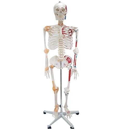JL 180CM Menschliches Skelett Modell Mit Muskeln Und Bändern, Medizinischer Qualität Gemalt Und Nummeriert Muskeleinführungs- Und Ursprungspunkte, Leicht Zusammenzubauen