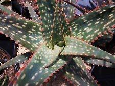 Aloe cv FANG Exotique hybride Rare Bonne Couleur Succulent Cactus Cacti graines 100 graines