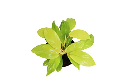 """Philodendron hederaceum Lemon Lime 8"""" - from California Tropicals"""