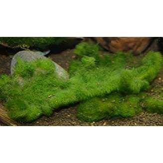Zierfischtreff.de Algen im Miniteich oder im Aquarium oder im Gartenteich? Die Lösung - das Unterwassergras gegen Algen