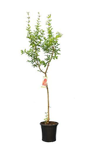 Punica granatum Dente di Cavallo - Winterharter Granatapfelbaum - verschiedene Größen (180+ cm Stamm 70-90cm Topf Ø 28cm)