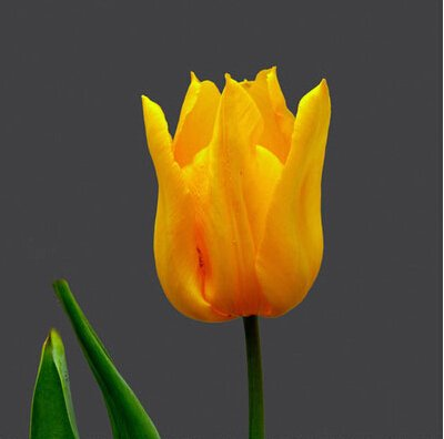 Rare Tulipes arc Fleurs Graines d'extérieur Bonsai Plantes en pot de fleurs pour Mini Décor de jardin Facile à cultiver 120 pcs / sac 10